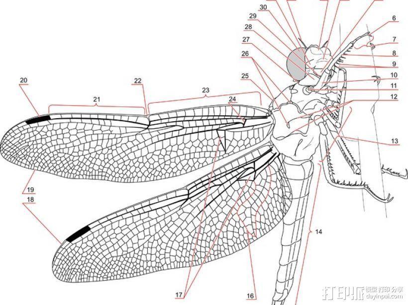 蜻蜓翅膀 3D模型  图6