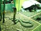 眼镜王蛇 3D模型 图2
