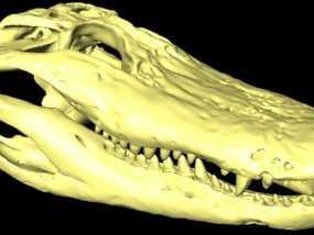 短吻鳄头骨  3D模型