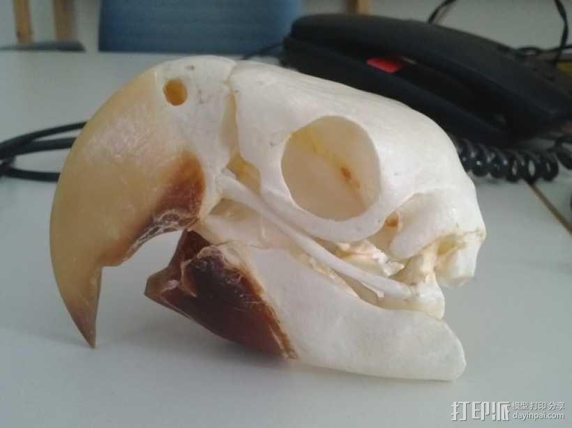 金刚鹦鹉头骨 3D模型  图3