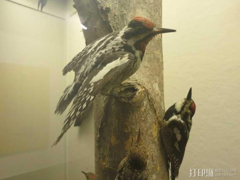 啄木鸟 3D模型  图1