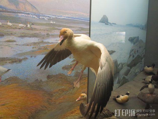 鸟 野鸭  3D模型  图2