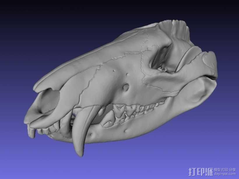 弗吉利亚负鼠头骨 3D模型  图1