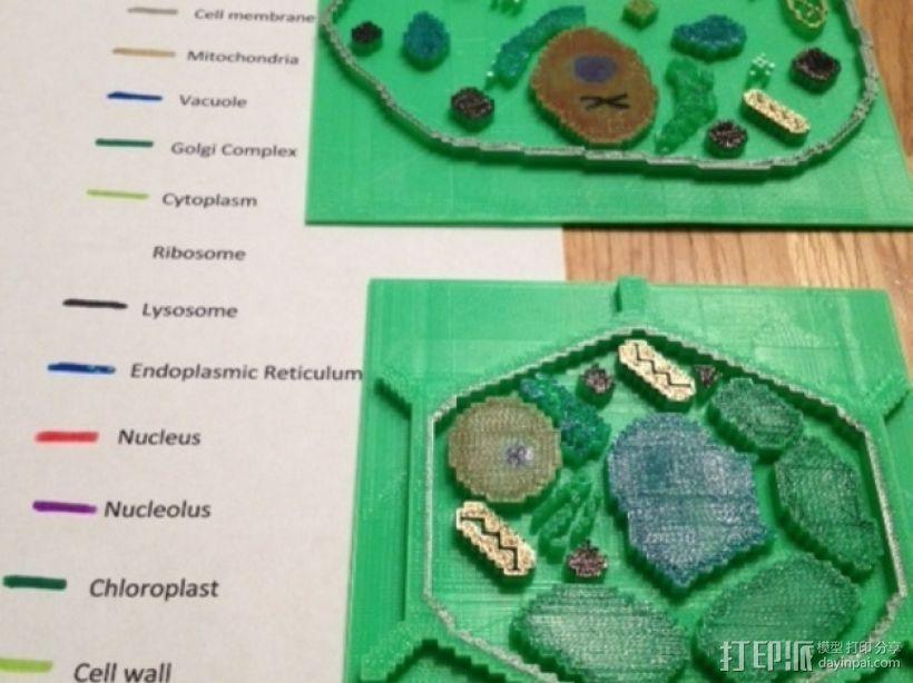 植物细胞模型和动物细胞模型 3D模型  图2