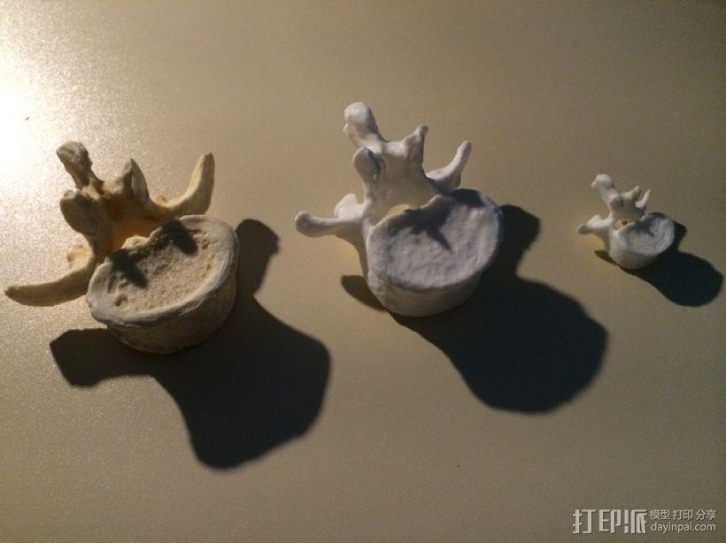脊椎骨模型 3D模型  图1