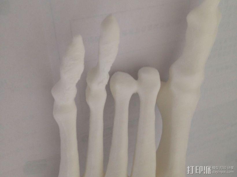 骨骼模型 3D模型  图2