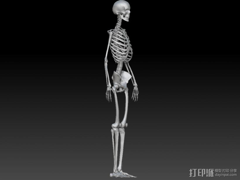 人体骨架 骷髅 3D模型  图2