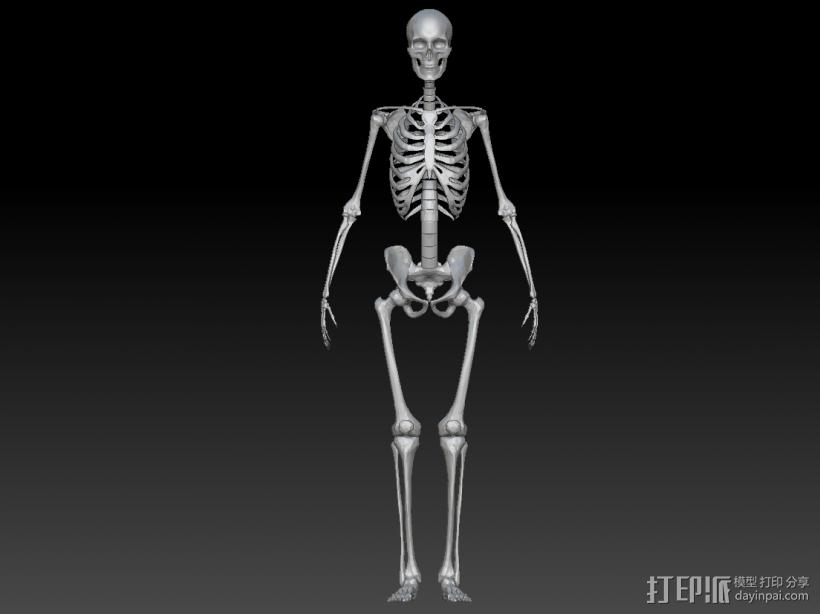人体骨架 骷髅 3D模型  图1