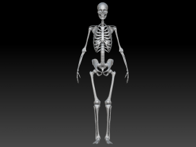 人体骨架 骷髅 3D模型